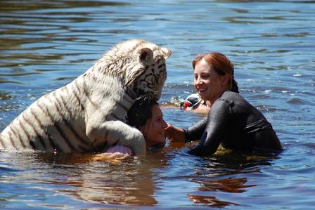 nadando con tigres swimming tigers