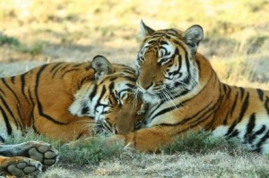 documental tigres last chance tiger