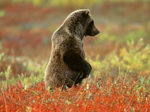 documental animales oso grizzly