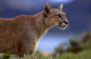 documental puma andes