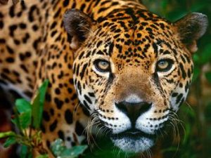documental felinos jaguar