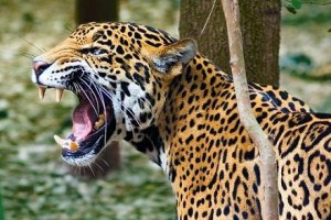 documental jaguar