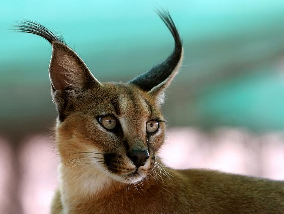 Caracal intenta cazar un jabalí