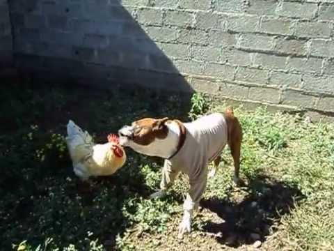 Pitbull y gallo peleando