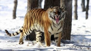 documental tigre siberiano
