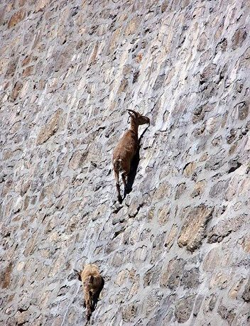 cabras-pared-vertical