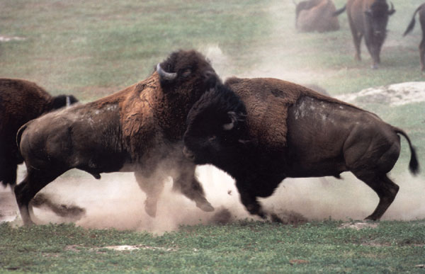 Bisontes peleando en Yellowstone