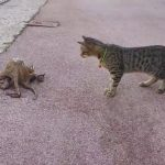 Gato vs pulpo