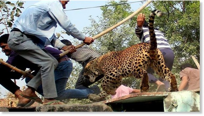 leopardo-atacando-gente-india