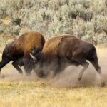Peleas de animales salvajes en Yellowstone