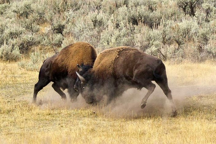 bisontes-peleando-Yellowstone